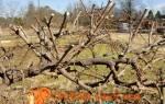 Как подготовить виноград к зиме видео, обрезка и укрытие винограда на зиму, правильная подготовка винограда к зимовке