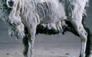 Машинка для стрижки овец — модели российского и зарубежного производства, стрижка овец для начинающих, видео