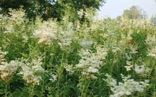 Где растет лабазник, описание растения, лечебные свойства
