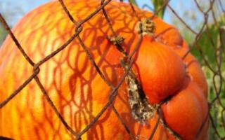 Тыква — выращивание в открытом грунте, посадка и уход, прищипывание, видео