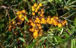 Облепиха крушиновидная: описание и особенности выращивания, видео