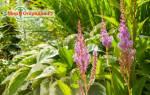 Астильба — особенности посадки весной делением куста и саженцем, видео