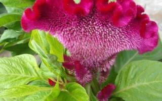 Однолетний цветок целозия — растение длительного цветения для садовых композиций, видео