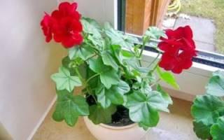 Герань — почему не цветет, как заставить дать цветение, правила ухода, видео