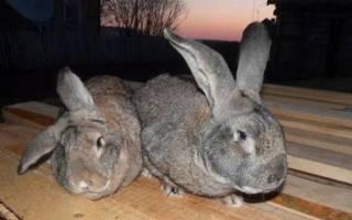 Болезни кроликов — симптомы, лечение и профилактика кокцидиоза, миксоматоза, геморрагической болезни, ушного клеща, фото, видео