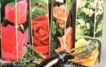 Розы в коробке — как правильно посадить розы, купленные в магазине, видео