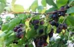 Выращивание ирги на даче — место посадки, полив и подкормка, видео