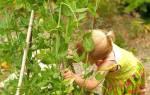 Чем полезен горох зеленый в стручках для организма, полезные свойства и противопоказания + видео
