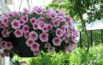 Как ухаживать за петунией на балконе для пышного цветения, видео