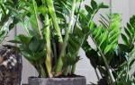 Долларовое дерево — фото, уход в домашних условиях, как цветет, видео
