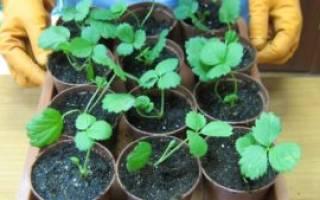 Выращивание рассады земляники из семян — когда сеять на рассаду, видео