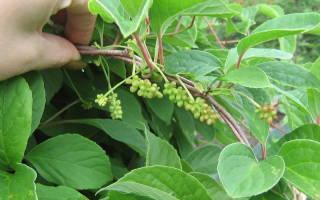 Лимонник китайский на даче, особенности посадки и ухода — Glav-Dacha.ru