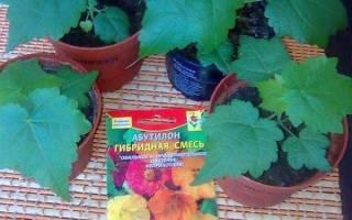 Абутилон из семян — правила подготовки к посеву, выбор грунта, видео