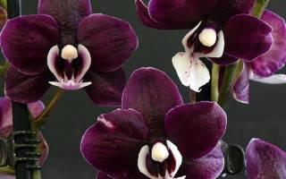 Особенности фаленопсиса Каода, характеристика, сорта