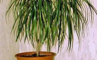 Почему у драцены желтеют листья и сохнут кончики листовых пластин, болезни растения и их лечение, фото, видео