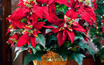 Пуансеттия — правила ухода для успешного цветения растения, видео