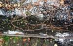 Когда укрывать виноград в самарской области, как укрывать