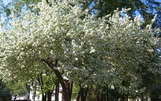 Почему сохнет вишня после цветения что делать и как бороться, видео