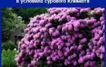 Рододендроны на Урале — уход и посадка, выбор сортов, зимовка