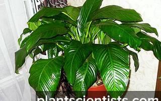 Спатифиллум Сенсация — выращивание, правила ухода и пересадки, видео
