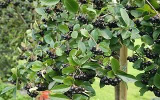 Арония черноплодная — посадка и уход, размножение черенками, выращивание на штамбе, видео