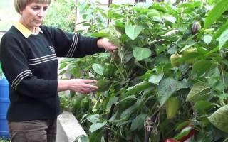 Перец болгарский — выращивание и уход в теплице, болезни болгарского перца