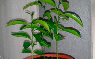 Комнатное мандариновое дерево дома, правила ухода + видео