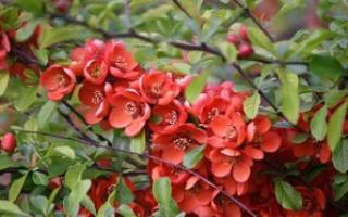 Айва японская — описание характеристик декоративного растения, видео