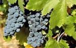 Фото и описание, способы лечения болезней листьев и плодов винограда + видео