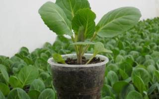Брюссельская капуста — выращивание в открытом грунте, уход, видео