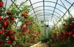 Лучшие сорта помидор для Подмосковья — теплицы, видео