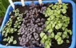 Выращивание рассады базилика в домашних условиях, видео