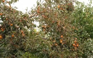 Как растет хурма, морозостойкие саженцы, выращивание в Крыму, Украине и Подмосковье, фото, видео