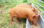 Кормушки для свиней бункерного типа, сделанные своими руками, ниппельные поилки и корыто, видео