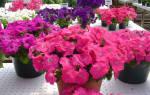 Секреты и особенности выращивания петунии Альдерман — видео