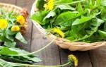 Листья одуванчика — применение растения в народной медицине, видео