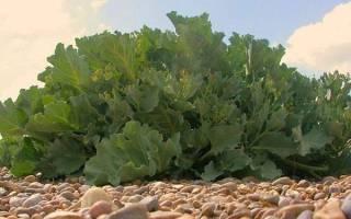 Хрен Катран — выращивание из семян, стратификация дома, видео