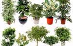 Разновидности фикусов — фото с названиями каучуконосного, микрокарпа, бенгальского, лировидного, робуста, мелани, кинки, видео