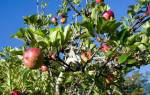 Яблоня — как привить на старую яблоню несколько сортов яблок, видео
