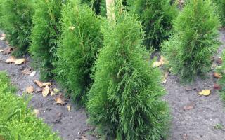 Туя западная Смарагд — описание, посадка и уход, высота взрослого растения, болезни, фото растений в ландшафтном дизайне, видео