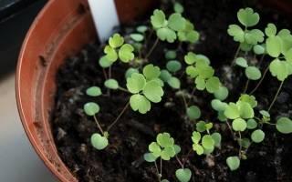 Аквилегия — выращивание из семян, когда сажать, уход в открытом грунте, видео