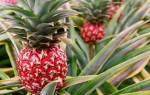 Ананас — выращивание на плантациях, страны экспортеры, видео