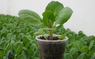 Когда сажать позднюю капусту на рассаду, примерные сроки, видео