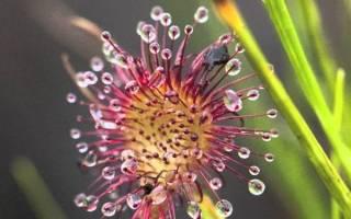Уход за росянкой в домашних условиях, как посадить семена, подготовка грунта, видео