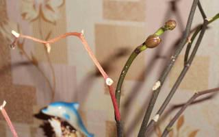 Как вырастить орхидею из цветоноса с отделением и без него