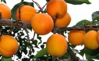 Почему много лет не плодоносит абрикос, видео