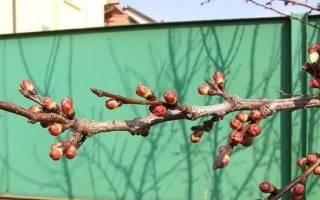 Абрикосы — не плодоносят, причины, способы борьбы, видео