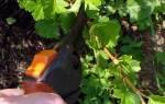 Крыжовник — правила обрезки в первые четыре года, видео