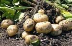 Болезни картофеля — описание, лечение, профилактика, видео