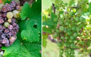 Фото болезней винограда и их лечение разными фунгицидами + видео